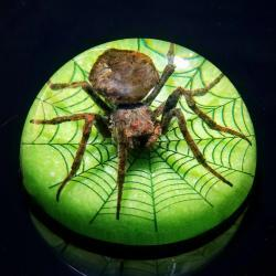 Insects in Resin, Real Spider with Web Dome, Paperweight