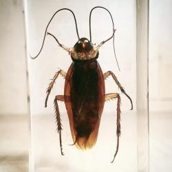 Real Cockroach in Resin, Insects Lucite, Creepy Bugs Specimens