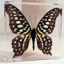 Tailed Jay Butterfly, Resin, Lucite, Butterflies Framed