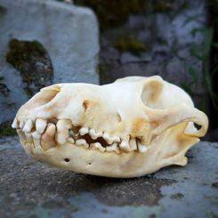 Coyote Skull For Sale, Animal Skulls, Oddities, Curiosities