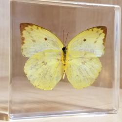 Real Butterflies in Resin, Lucite Butterfly Display