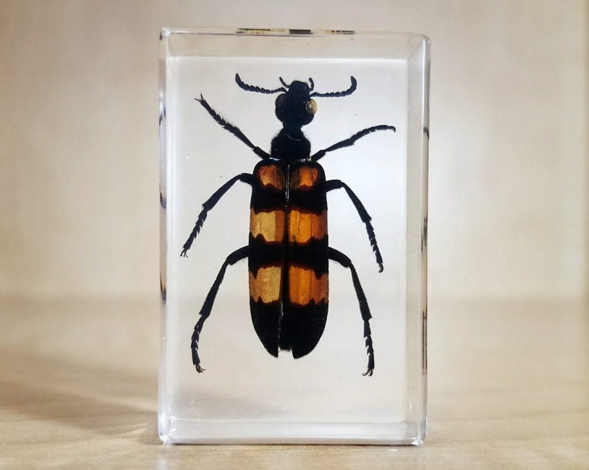 Blister Beetle in Resin, Insects in Lucite