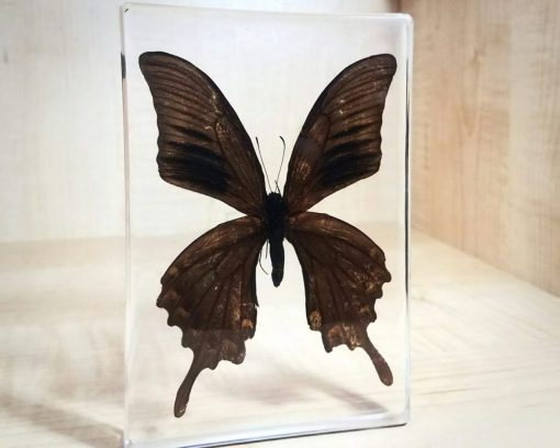 Large-Black-Preserved Butterfly in Resin, Insects in Lucite