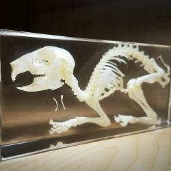 Rabbit Skeleton In Resin, Real Rabbit Skull, Animal Skeletons For Sale