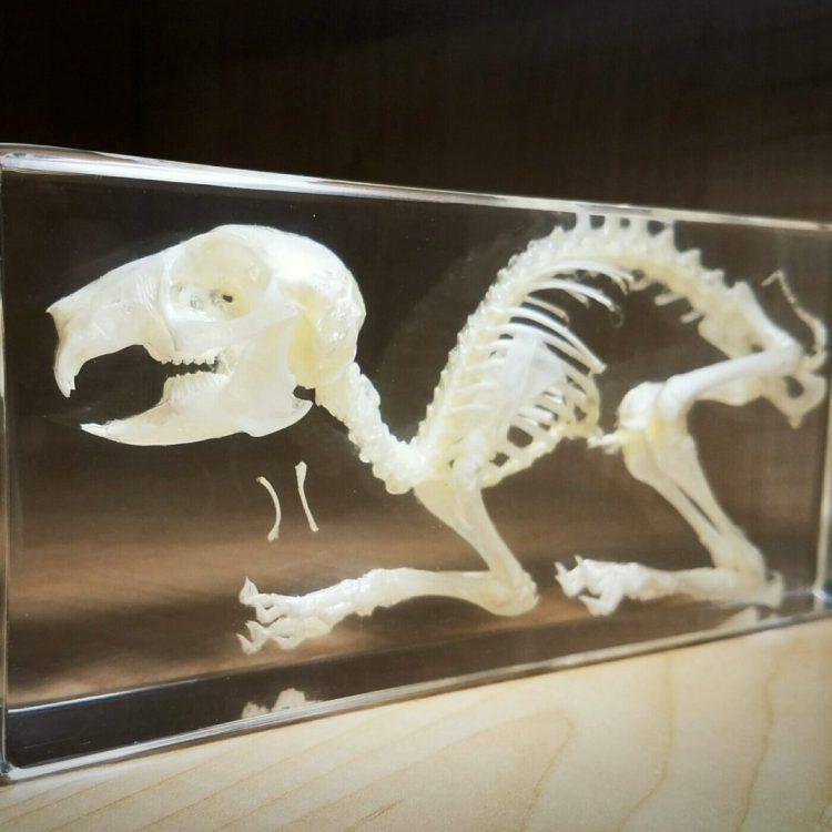 Rabbit Skeleton In Resin, Real Rabbit Skull, Animal Skeletons For Sale
