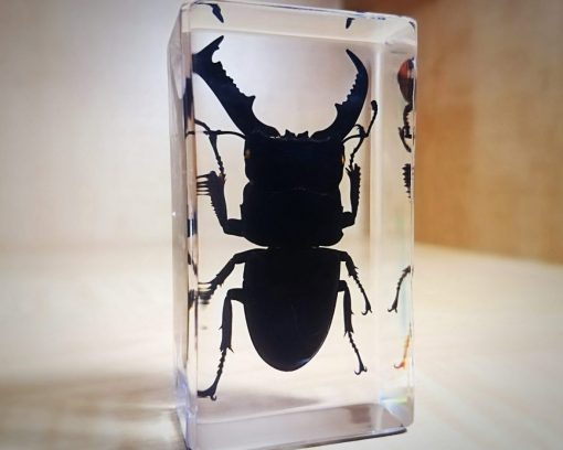 Giant Stag Beetle in Resin Insects in Lucite, Dorcus Titanus