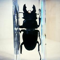 Giant-Stag-Beetle-In-Resin-Huge-Beetle-Dorcus-Titanus