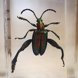 Jeweled Frog Beetle in Resin Specimens in Lucite