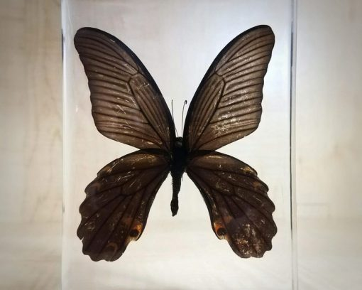 Preserved Butterfly in Resin, Lucite Specimens