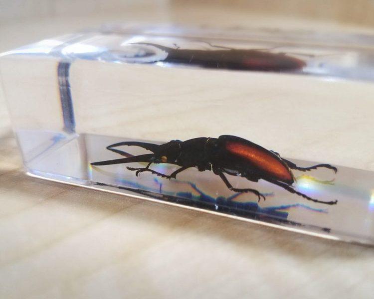 Stag Beetle in Resin Specimens, Insects in Resin For Sale