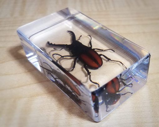Stag Beetle in Resin Specimens