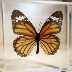 Preserved Butterfly in Resin, Lucite Specimens, Tiger Butterfly