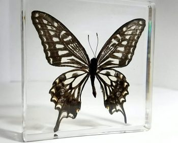 Real Butterflies In Resin, Framed Butterflies, Insects in Lucite