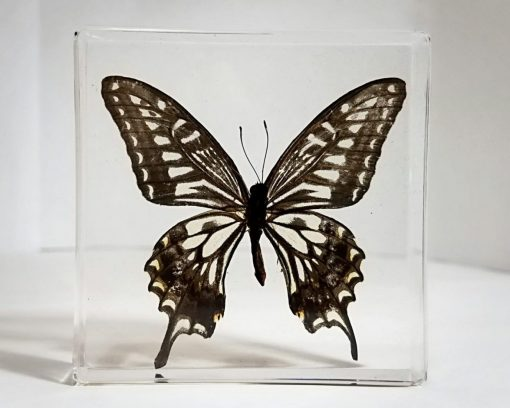 Asain Swallowtail, Real Butterflies In Resin, Framed Butterflies, Insects in Lucite