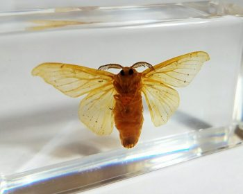 Silkworm Moth in Resin, Oddities, Curiosities, Insects in Resin, Lucite