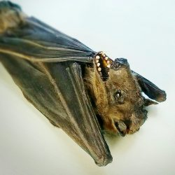 Real Bat Taxidermy, Large Bat, Oddities, Curiosities