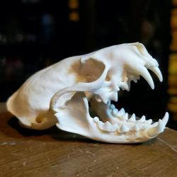 Real Mink Skull-Animal Skulls, Oddities