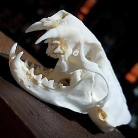 Real Skulls & Bones