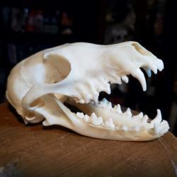 Corsac Fox Skull For Sale, Animal Skulls Bones, Oddities, Curiosities