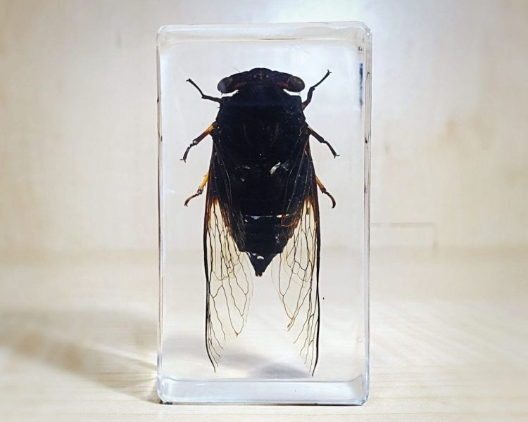 cicada in resin, Insects in Lucite