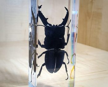 Giant beetle in resin, Dorcus Titanus, Insects in Lucite