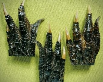 Small Alligator Feet For Sale, Occult Items, Oddities, Curiosities