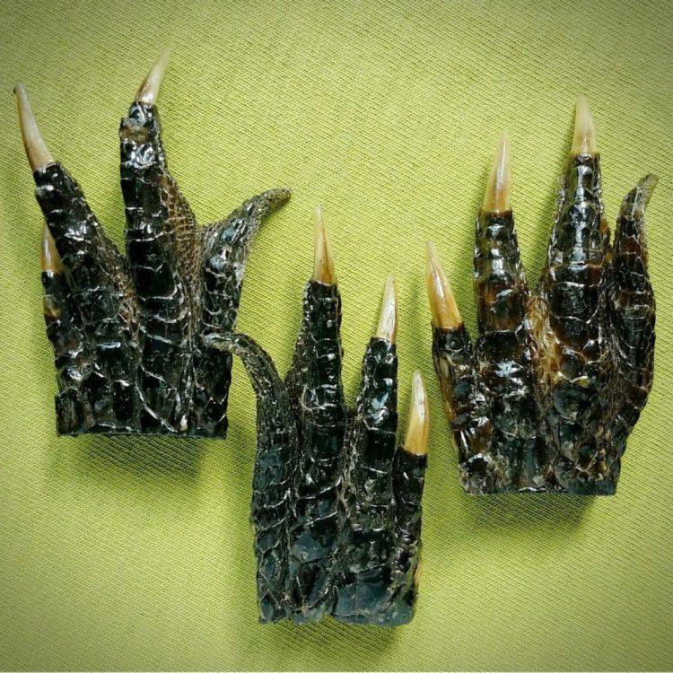 Small Alligator Feet For Sale, Occult Items, Oddities, Curiosities