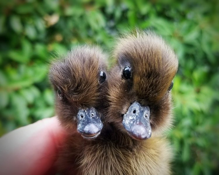 Two Headed Duckling, 2 headed duck, Oddities Taxidermy, Curiosities