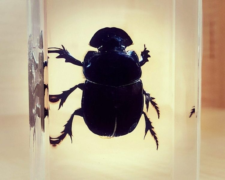 Dung Beetle in resin, Insects in resin, Scarab