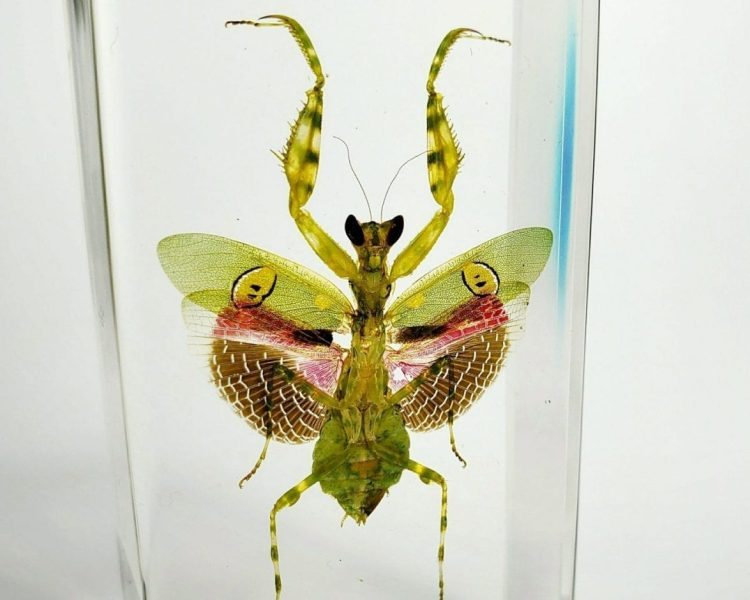Flower Mantis, Orchid Mantis, Insects in Resin Specimens