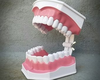 Oddities and Curiosities, Large Human Teeth Model, Oversized Teeth Model