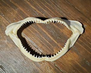Real Shark Jaws, Shark Teeth, Oddities, Curiosities