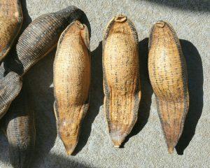 Real Dried Leeches, Leech Specimen, Oddities and Curiosities