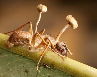Zombie Fungus Specimen, Oddities, Curiosities, Cordyceps