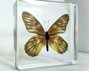 Real-Insects-In-Resin-Red-base-Jezebel-Butterfly-in-resin